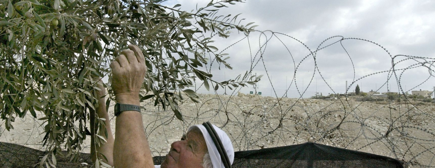 A 67-year-old Palestinian farmer harvests his olives alongside Israel's security fence
