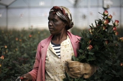 A woman collects roses at a flower farm in Holeta, Ethiopia.