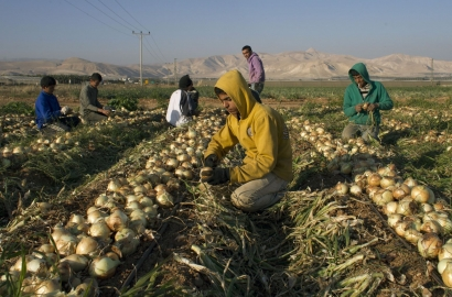 Palestinian farmers work in an onions field in the Jordan Valley