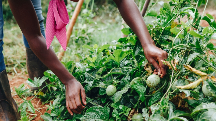 a farmer in Africa harvests vegetables
